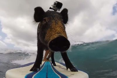 This Pig Goes Into The Ocean With His Owner, See What Happens Next...