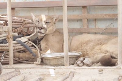 Video: Mountain Lion Is Finally Freed From Illegal Circus After Being 20 Years In Chains