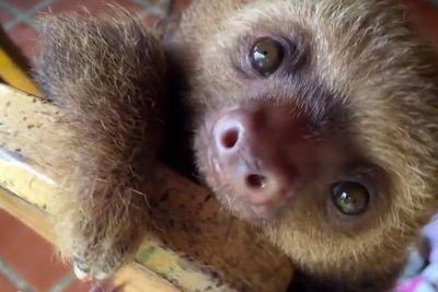 Video: Cute Baby Sloths Learn To Climb!