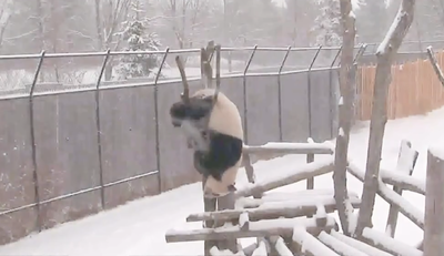 Video: Stop Everything You're Doing And Look At This Panda Clumsily Climbing A Tree!