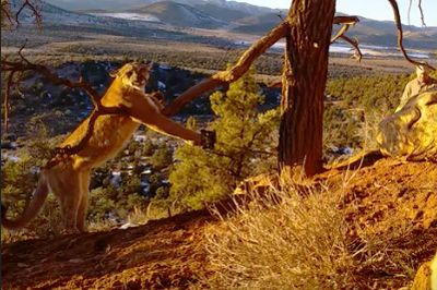 Video: Brave Legends Save A Massive And Very Angry Cougar From A Bobcat Trap Without Getting Their Faces Clawed Off!
