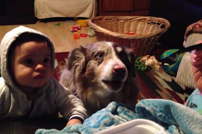Video: Australian Shepard Is Smart As Hell, Has An Evolutionary Moment While Competing For Food!