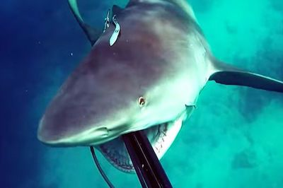 Video: Never Swimming Again! ' Intense Footage Of A Bull Shark In North Queensland, Australia, Rushing And Attacking A Spearfisherman Mid Dive!