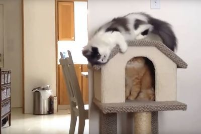 Video: These Cat Fails Are Beyond Hilarious!!
