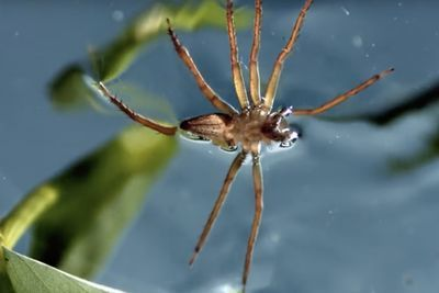 Video: A Spider That Can Fish Underwater...