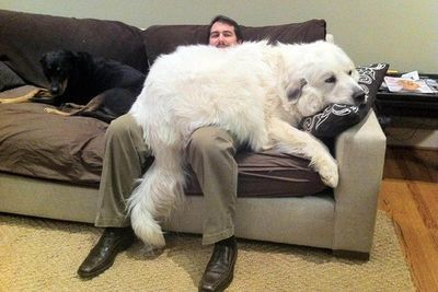 Video: Huge Dogs Who Think They're Lap Dogs!