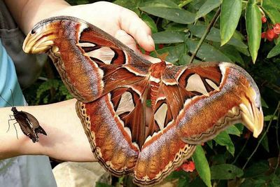 Video: This Is Probably The Biggest Moth In The World