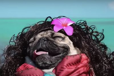Video: Disney! It's A Whole New (pug) World!