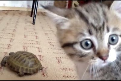 Video: Tortoise Tries To Chase Kitten Resulting In A Kung-fu Battle