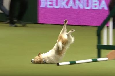 Video: Olly And His Disastrous Agility Show