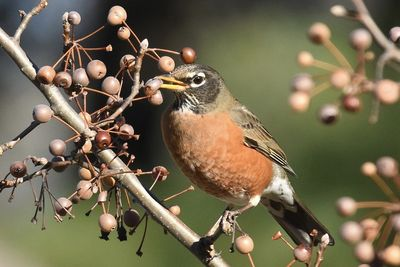 U.S Birds 'Tipsy' After Eating Fermented Berries