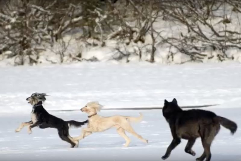 Video: When A Wild Wolf Meets A Domestic Doggy 1
