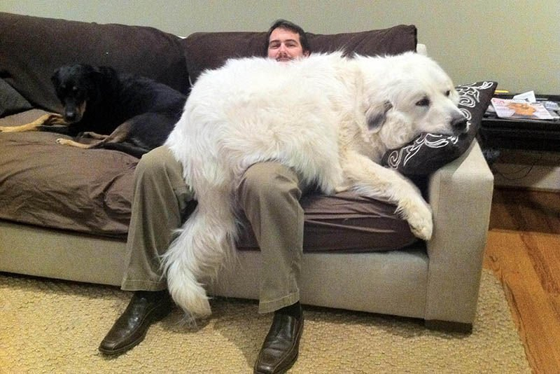 Video: Huge Dogs Who Think They