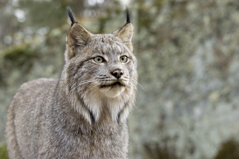 You Will be Shocked to Hear What a Lynx Cats Sound Like 1