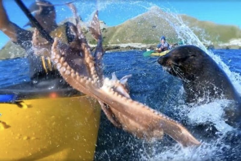 A Seal Throws An Octopus At A Kayaker And It Was Caught On A GoPro 1