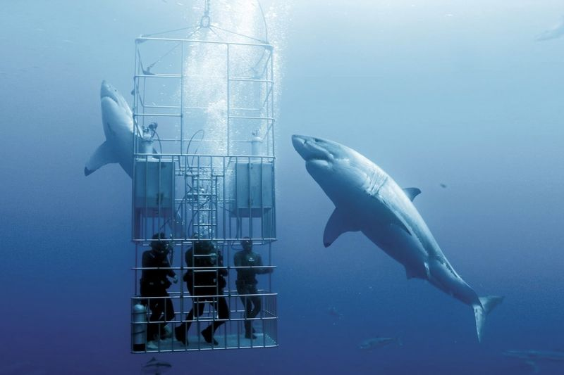 Why NO Aquarium In The World Has A Great White Shark! 1